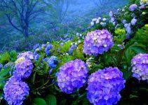 Cómo pintar hortensias