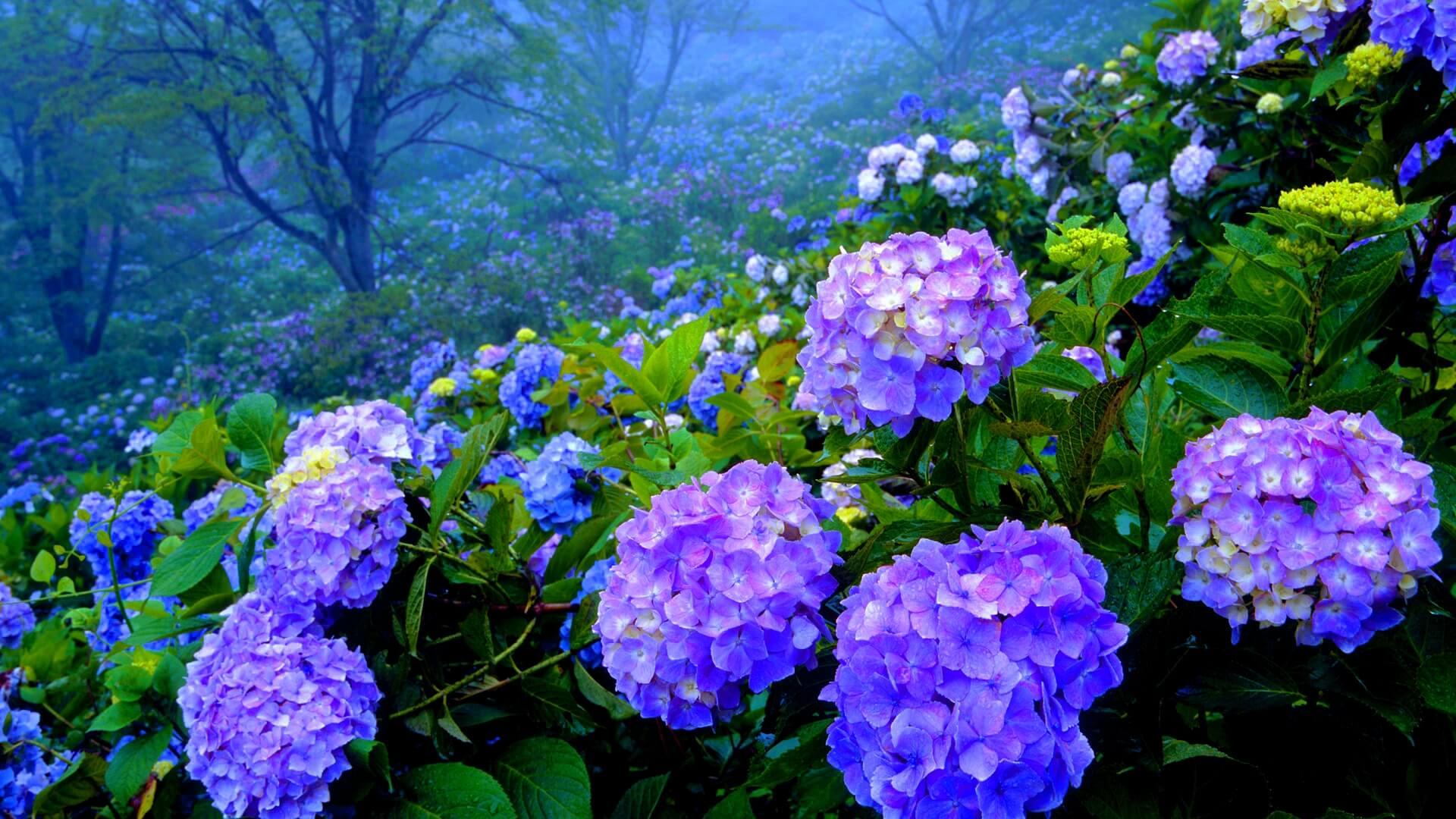 C mo pintar hortensias como - Como cuidar una hortensia de exterior ...
